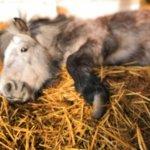 Просим поддержки: в Беларуском предприятии «Заря» регулярно убивают пони. Зараженное мясо может попасть на прилавки Украины