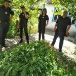 """Понад 4 тисячі рослин коноплі  - такий """"улов"""" поліцейських Житомирщини"""