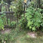 """""""Конопляні посіви"""" в Коростенському районі були виявлені поліцейськими. Деталі"""